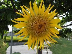 Sunflower20100821-1.JPG