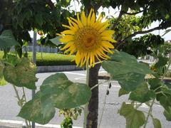 Sunflower20100821-2.JPG