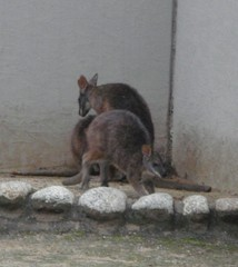 Wallaby20100618-2.JPG