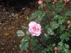 ashikaga-rose6.JPG