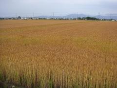 bakushu20100611-1.JPG