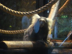 common marmoset20100618.JPG