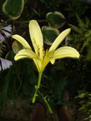 day lily1.JPG