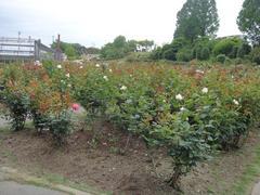 ibaraki-flowerpark6.JPG