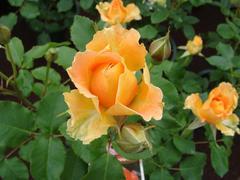 rose20100529-1.JPG
