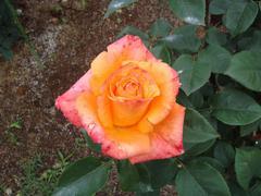 rose20100529-10.JPG