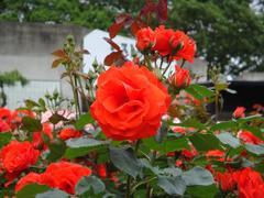 rose20100529-12.JPG
