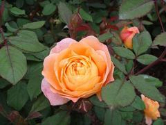 rose20100529-13.JPG