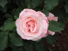 rose20100529-16.JPG