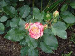 rose20100529-17.JPG