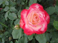 rose20100529-18.JPG