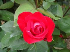 rose20100529-21.JPG