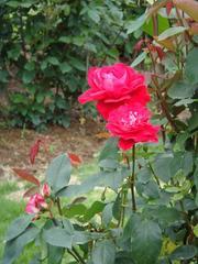 rose20100529-22.JPG