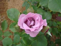 rose20100529-26.JPG