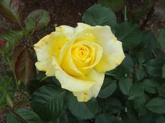 rose20100529-29-3.JPG