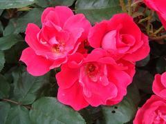 rose20100529-29-4.JPG