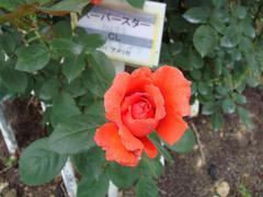 rose20100529-29.JPG
