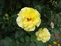 rose20100529-32.JPG