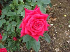 rose20100529-33.JPG