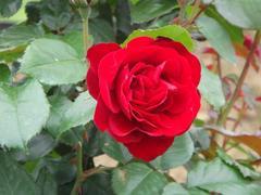 rose20100529-35.JPG
