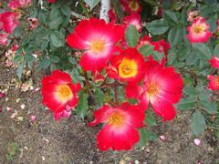 rose20100529-40-3.JPG