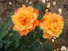 rose20100529-40.JPG