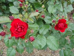 rose20100529-42.JPG