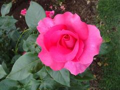 rose20100529-43.JPG