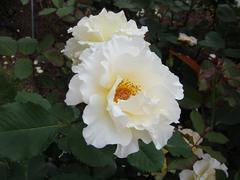 rose20100529-46.JPG