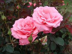 rose20100529-49.JPG