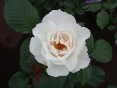 rose20100529-5.JPG