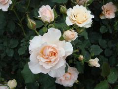 rose20100529-50.JPG
