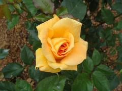 rose20100529-52.JPG