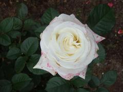 rose20100529-55.JPG