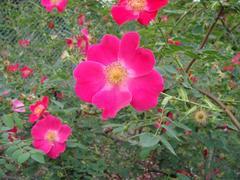 rose20100529-56.JPG