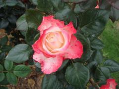 rose20100529-59.JPG