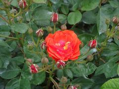 rose20100529-6.JPG