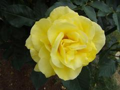 rose20100529-61.JPG