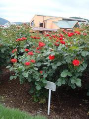 rose20100529-7.JPG
