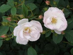rose20100529-9.JPG